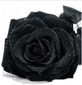 jardinières Pots de fleurs, 20 sortes de 100 graines, Rainbow Rose graines belle rose graines bonsaïs graines pour la maison et le jardin 9