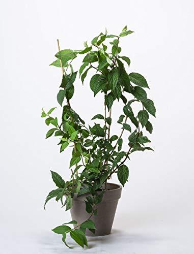 OBI Solitärpflanze, freiwachsende Hecke