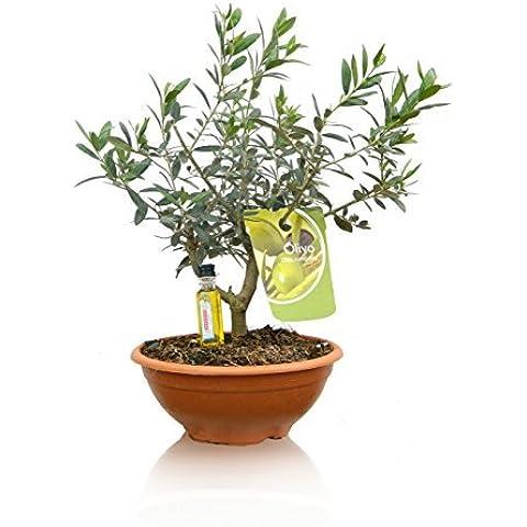 PACK 2 OLIVOS BONSAI ¡NATURALES! ¡De regalo 2 botellitas de aceite de oliva! (Envíos sólo a