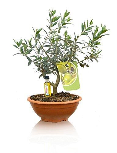OFERTA PACK 2 OLIVOS BONSAI ¡NATURALES! ¡De regalo 2 botellitas de aceite de oliva! (Envíos sólo a Península)