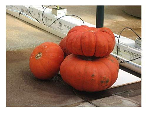 Portal Cool Gemüse Squash/Kürbis Rouge Vif D'Etampes 25 Samen