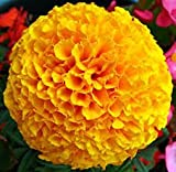 MARIGOLD HYBRID CRACKER JACK MIXED - 50 ...