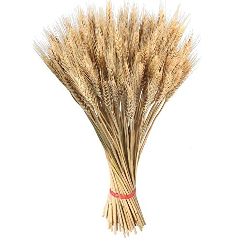 Características del producto: 1.Hecho de trigo natural, escogido a mano para la calidad cultivada en un paquete de trigo seco de granja real, incluye tallos de trigo 100pcs 2.El trigo triticum rubio natural es ideal para usar en ramos, ce...