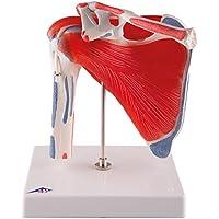 3B Scientific A880 Modelo de anatomía humana Articulación del Hombro Con Manguito Rotador, de 5 Piezas
