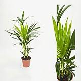 Inter Flower-Howea forsteriana 90cm Kentia Palme Zimmerpflanze Kentiapalme Zimmerpalme