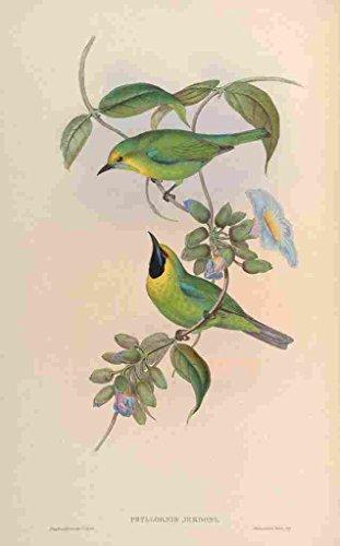 A4 Photo Gould John Jordans Phyllornis Print Poster (Retro Jordan Animal-print)