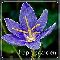 Suchergebnis Auf Amazon De Fur Zephyranthes Candida Blumen