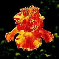 VISTARIC 1 20 Pz Bonsai Fiori Amaranthus Tricolour Semi Poinsettia Amaranto Tasso Di