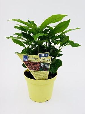 Echter Kaffee (Coffea arabica), 2 Pflanzen von Amazon.de Pflanzenservice - Du und dein Garten