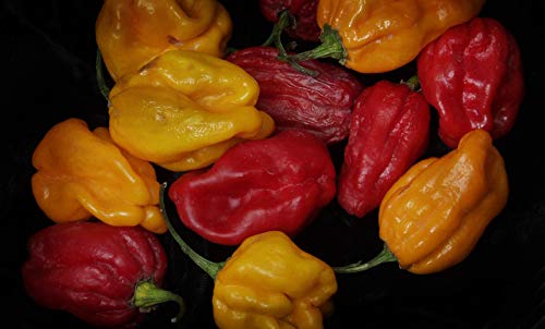Portal Cool Gemüse Hot Chili Numex Suave orange 400 Samen-Masse