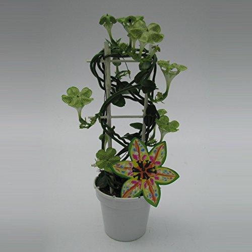 Kletternde Leuchterblume, (Ceropegia sandersonii), im 12cm Topf, ca. 45cm hoch (1 Pflanze)