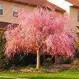 10pcs / bag japanische Bonsai Sakura-Baum-Samen, weinend Kirschbaum, DIY Hausgarten Zwergen Sakura Samen schöne Blumensamen 5