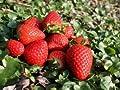 Erdbeere 'Senga ® Sengana' ® - Fragaria 'Senga ® Sengana' ® von Baumschule bei Du und dein Garten