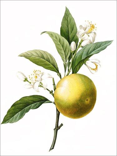 Posterlounge Alubild 120 x 160 cm: Citrus aurantium von Pierre Joseph Redouté