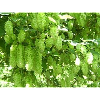 AIMADO Samen-50 Stück Hopfen Samen guter Duft in Sommer Kletterpflanze Saatgut mehrjährig winterhart,pflegeleichte für balkon bonsai Topf