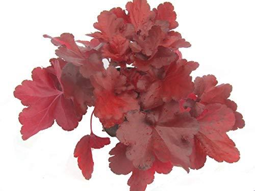 Heuchera 'FOREVER® RED' - Purpurglöckchen - Staude winterhart immergrün mehrjährig, sehr robuste Pflanze im 12 cm Topf für Balkonkästen, Beet, Steingarten