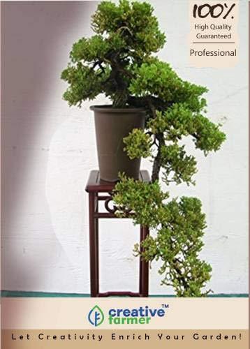 Pinkdose ostindischen Palisander Bonsai-Baum-Samen Seed