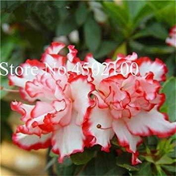 CUSHY 100 Stück exotischen japanischen AZEA Bonsai, Misch Rhododendron AZEA, AZEA Bonsai Samen DIY Seedssseed für Hausgarten: 8