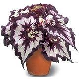 Bloom Green Co. 100 piezas de semillas de begonia, semillas de flores en macetas, plantas de begonia para mini huerto, varied