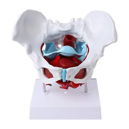 Freshsell Weibliches Becken Beckenbodenmuskel Modell Gebärmutter Eierstockmuskel, Anatomie-Modell Als Lernmodell Oder Lehrmittel