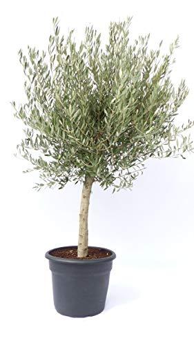 Olivenbaum Olive \'20 Jahre\' 160-180 cm, beste Qualität, winterhart, Olea