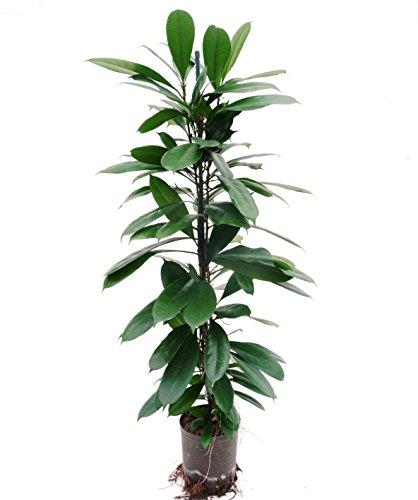 Ficus benjamini 80-100 cm, in Hydrokultur (15/19er Kulturtopf), pflegeleichte Zimmerpflanze, für Schatten, robuste Zimmerpflanze, Ficus cyathistipula