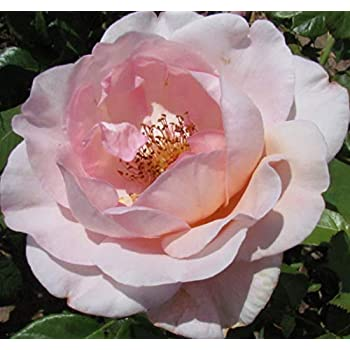 Repeat Flowering Blooms Pink//Cream Blend 5.5lt Potted Climbing Garden Rose PINK CHAMPAGNE