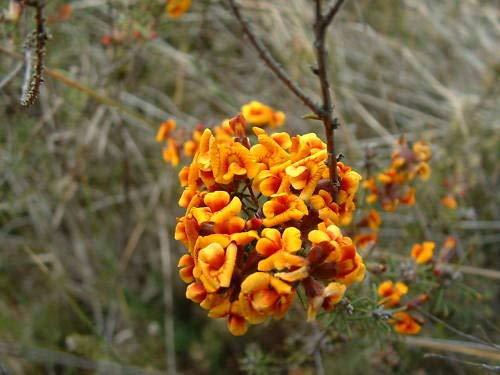 Portal Cool Dillwynia cinerascens Parrot Pea Bush 15 Samen -