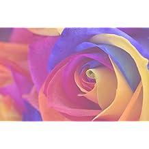 Rosa colores del arco iris - 1 semillas