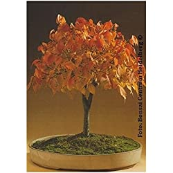 TROPICA - Bonsai-Zelkove/Japanische Ulme (Zelkova serrata) - 50 Samen