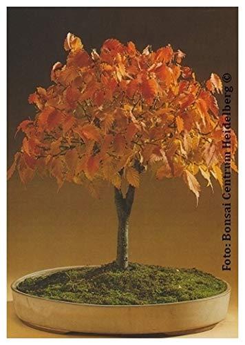 TROPICA - Bonsai-Zelkove/Japanische Ulme (Zelkova serrata) - 30 Samen
