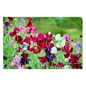 Premier Seeds Direct SWP21F Platterbse fruehe Multiflora gemixte enthaelt 50 Samen