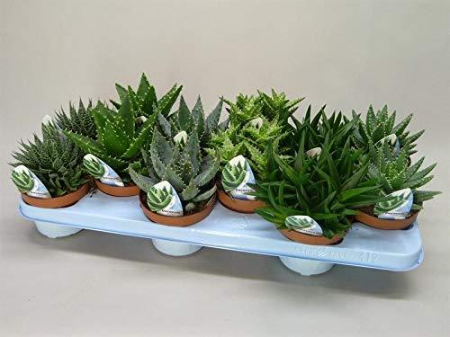 Aloe Vera Pflanzen, verschiedene Sorten im Set, pflegeleichte Sukkulente, (3 Pflanzen im Set)