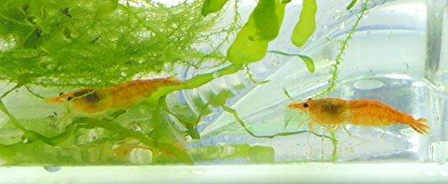 Garnelen im Set gelbe Garnele 2Stk mit Aquarium ROT und Zubehör Wasser Garnelen mit Pflanzen und Aquarium für Kinder und Erwachsene Aqua prawn shrimp Plant Einsteiger Starter Set (2Stk mini yellow) 4821