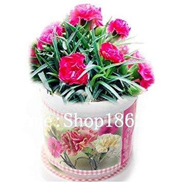 . 200 pc garofano bonsai dei semi semi di fiore in vaso balcone giardino perenne fiori dianthus caryophyllus piante purificano l'aria: 8