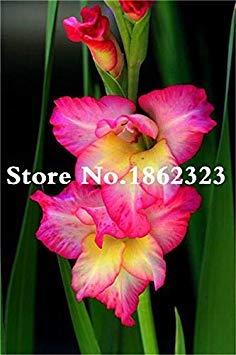 potseed . multi-color gladiolus flower (non gladiolus bulbi), 95% di germinazione, fai da te aerobica in vaso, rare gladiolus flower-120 pz: 14