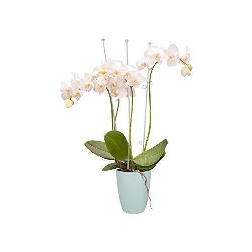 Elho Brussels Orchidee Hoch 12,5 - Blumentopf - Transparent - Drinnen  - Ø 12.7 x H 15.2 cm