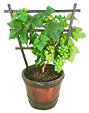 #10: NooElec Seeds India 6 Dwarf Fruit Trees Seeds