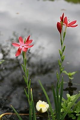 Wasserpflanzen Wolff - Schizostyles coccinea - Spaltgriffel - Sumpfgladiole, rosa-rot, weiß von Wasserpflanzen Wolff - Du und dein Garten