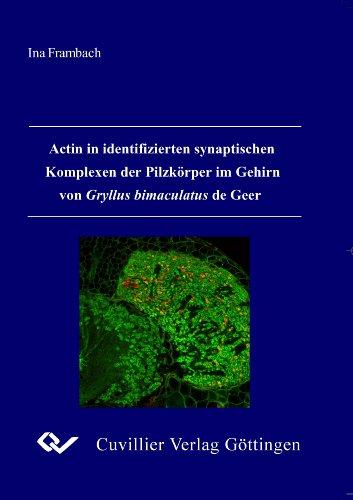 Actin in identifizierten synaptischen Komplexen der Pilzkörper im Gehirn von Gryllus bimaculatus de Geer