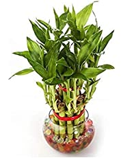 Real Nature 2 Layer Lucky Bamboo Plant with Round Glass Bowl and Colored Jelly Balls