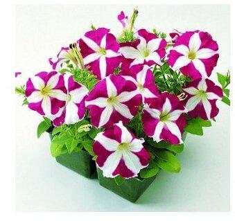 Le taux élevé de germination crassula 100pcs Succulent Plant maison jardin magnifique bureau bonsaï graines Mage Noir pots de fleurs jardinières