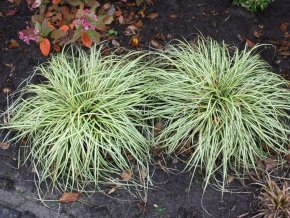 Gold Segge 'Evergold' - Carex hachijonensis 'Evergold' - gestreiftes Ziergras von Staudengärtnerei auf Du und dein Garten