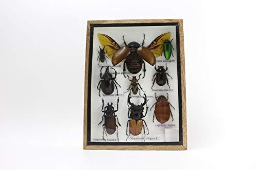 Bitacora Insekten Sammlung A Rahmen CMS 20,5x15,5 Präparatoren natürliche