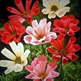 SeeKay Cosmos Sea Shells Mix - appx 360 seeds