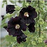 Fash Lady Paket von 300 Samen, Schwarz-Hollyhock-Samen Nigra (Alcea rosea)