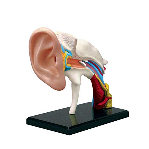 Anatomie Modell,Menschliches Ohrgelenk für die medizinische Ausbildung Unterrichtsmodell - Puzzle Montage Spielzeug, Modell medizinischer Anatomie, PVC Kunststoff