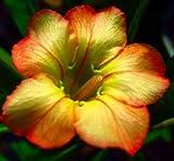 Wüstenrose (Adenium obesum) 5 Samen Honey