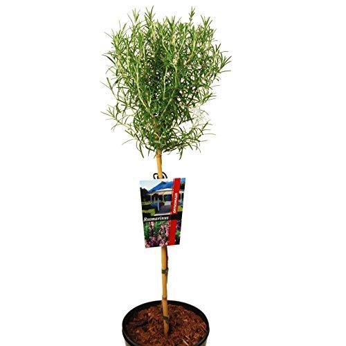 Rarität Hochstamm Rosmarin Baum Duftende Kräuter Pflanze ca. 60-80 cm Höhe auf Stamm