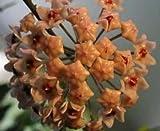 Hoya carnosa Dark Khaki - Porzellanblume - Wachsblume - 10 Samen